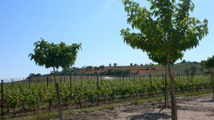Weingärten der Domaine la Jasse.