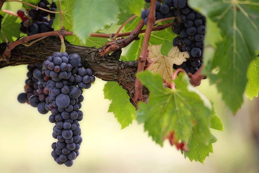 Weintrauben am Weinstock.