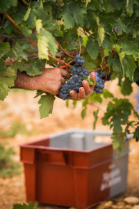 Weinernte in der Rioja Alta.