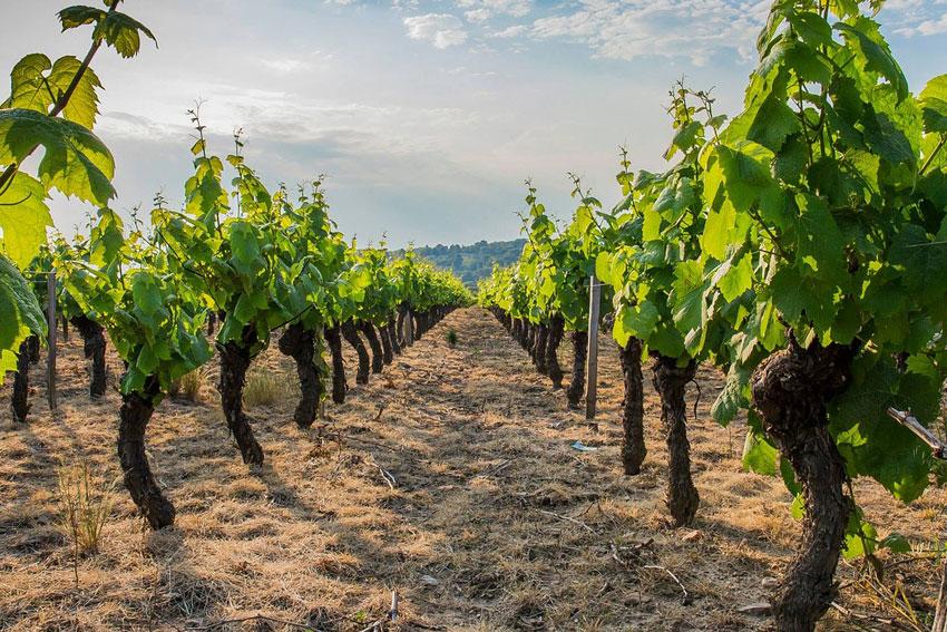 Die Weine aus dem Beaujolais stehen wie keine anderen für perfekte Anmut, unwiderstehlichen Charme und bestehende Frucht.