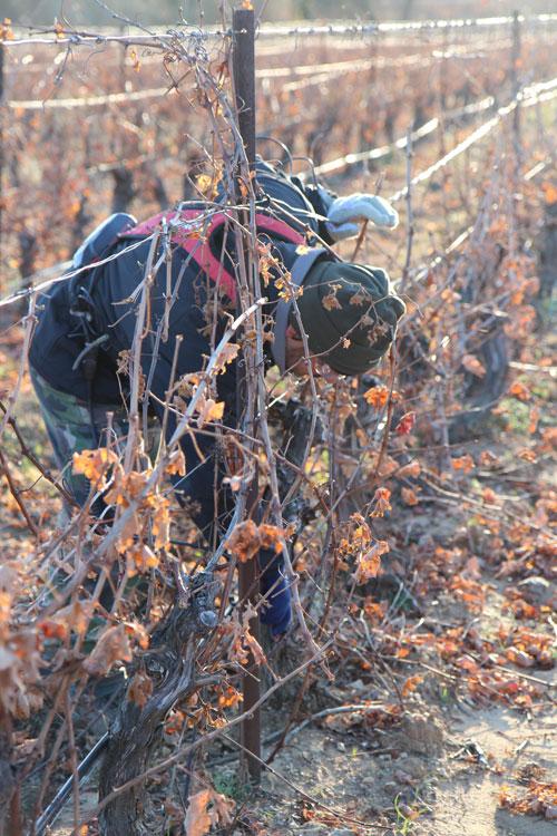 Auch im Winter hört die Arbeit im Montlobre Weingarten nicht auf. Nicht alles dem Zufall überlassen, heißt die Devise.
