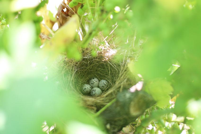 Vogelnest im Weingarten