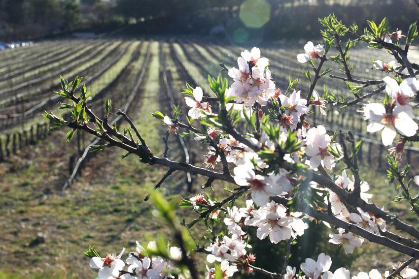 Blühender Baum im Weingarten der Domaine Montlbore.