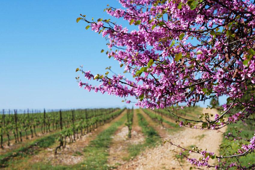 Weichselblüte im Weingarten Montlobre.