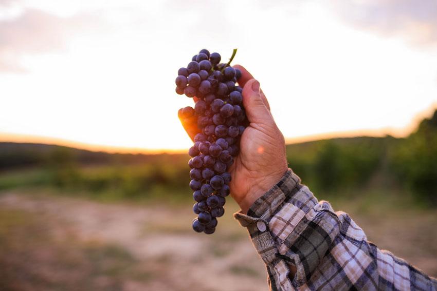 Eine Person hält Trauben in der Hand.
