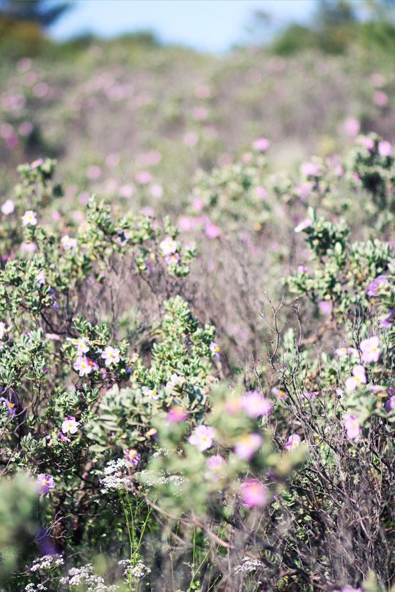 Kräuter und Blumen im Weingarten der Garrigue