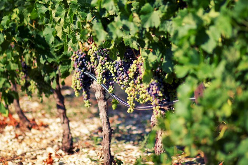 Weingärten der Domaine de la Jasse