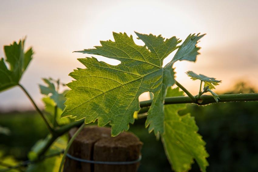 Weinblatt im Weingarten